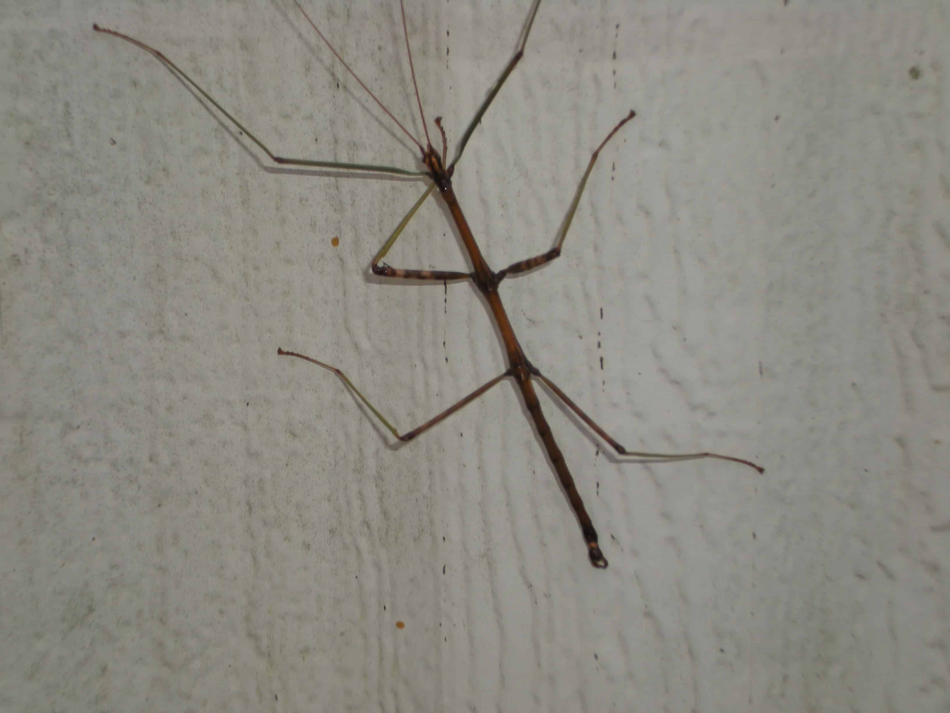 One of our Walking Sticks